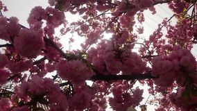 Sakura, which is growing in Europe, lovely pink spring flowers stock video footage