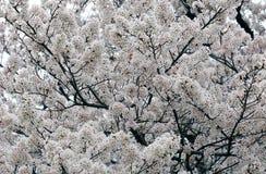 Sakura White Cherry Blossom Background Royalty Free Stock Photography