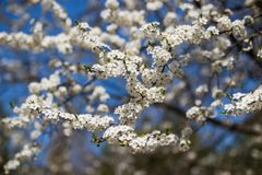White cherry flowers in large quantities against the backdrop of a clear blue sky royalty free stock photo