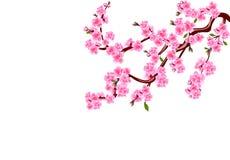 Sakura Wiśnia kwitnie z pączkami i liśćmi na gałąź Może używać dla kart, zaproszenia, sztandary, plakaty ilustracji