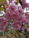 Sakura obrazy stock
