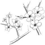 Sakura wildflower σε ένα διανυσματικό ύφος που απομονώνεται Στοκ Εικόνα