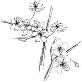 Sakura wildflower σε ένα διανυσματικό ύφος που απομονώνεται Στοκ εικόνα με δικαίωμα ελεύθερης χρήσης