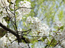 Sakura and Willow. Close up view of white sakura (cherry blossom) with green willow tree as background Stock Images