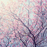 Sakura in winter at Doi Kunwang, Chaingmai , Thailand. Vintage f. Ilter royalty free stock photo