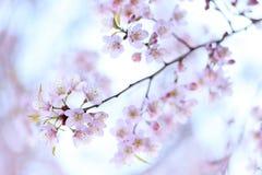 Sakura in winter, Spring blooming cherry flowers branch Stock Photo