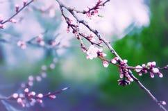 Sakura wiosny okwitnięcie Fotografia Stock