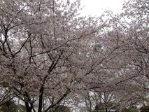 Sakura in Wuhan University stock photo