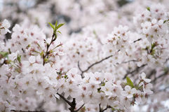 Sakura from wuhan university. The fantastic sight of sakura blossom in wuhan university Royalty Free Stock Images