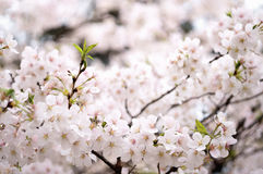 Sakura from wuhan university royalty free stock images