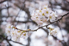 Sakura from wuhan university Royalty Free Stock Photography