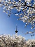 Sakura& x28; 樱桃blossom& x29;在北京中国 库存图片
