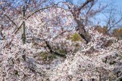 Sakura y el cultivar un huerto Imágenes de archivo libres de regalías
