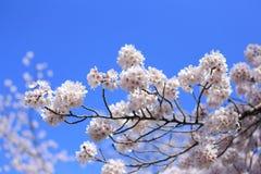 Sakura z niebieskim niebem Obrazy Royalty Free