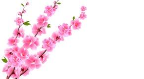 Sakura zakończenie up Dekoracyjni kwiaty wiśnia z pączkami na gałąź, bukiet Może używać dla kart, zaproszenia ilustracja wektor