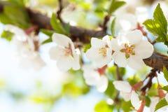Sakura, zonnige de lenteachtergrond van de kersenbloesem stock foto's