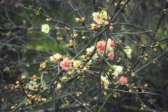 Sakura-Zweige mit Blumen Lizenzfreies Stockfoto