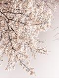 Sakurabloei Royalty-vrije Stock Foto