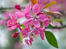 Sakurabloem Royalty-vrije Stock Foto's