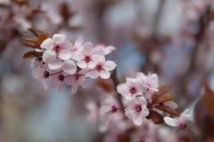 Sakurabloemen Royalty-vrije Stock Foto