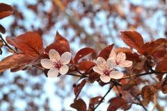 Sakurabloemen Stock Foto