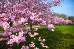 Sakurabloemen in bloesem royalty-vrije stock afbeeldingen