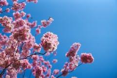 Sakurabloemen in bloesem stock afbeelding
