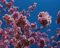 Sakurabloemen in bloesem stock afbeeldingen