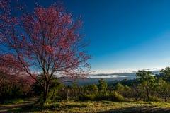 Sakurabloemen van de kersenbloesem Royalty-vrije Stock Afbeelding