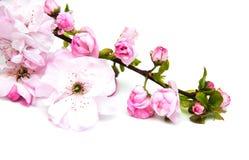 Sakurabloesem op een witte achtergrond Royalty-vrije Stock Fotografie