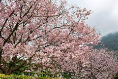 Sakurabloesem op ochtend royalty-vrije stock foto
