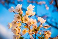 Sakurabloesems royalty-vrije stock foto's