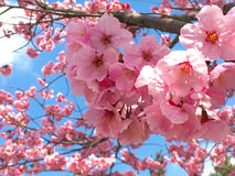Sakurabloesems Royalty-vrije Stock Afbeeldingen