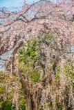 Sakuraboom bij Zojoji-Tempelreis in Japan op 30 Maart, 2017 Stock Fotografie