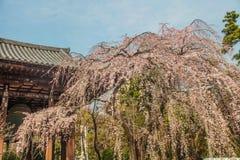 Sakuraboom bij Zojoji-Tempelreis in Japan op 30 Maart, 2017 Stock Foto's