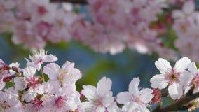 Sakuraen Cherry Blossom i Taiwan Härliga rosa färgblommor stock video