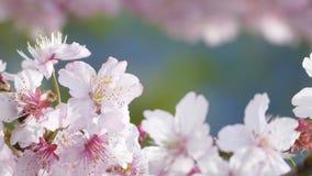 Sakuraen Cherry Blossom i Taiwan Härliga rosa färgblommor arkivfilmer