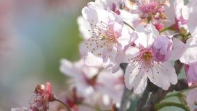 Sakuraen Cherry Blossom i Taiwan Härliga rosa färgblommor lager videofilmer