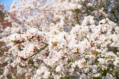 Sakuras in Bloesem stock afbeelding