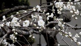 Sakuras blomma Arkivbild
