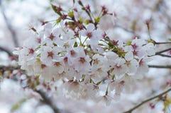Sakuras blomma Arkivbilder