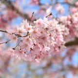 Sakuras blooming background. Blossoming sakura branch background tender pink flowers stock image