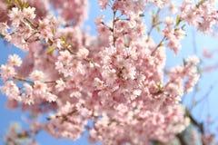 Sakuras blooming background. Blossoming sakura branch background tender pink flowers stock photography