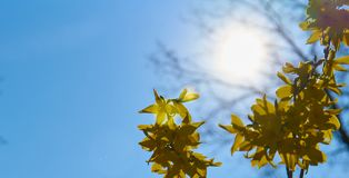 Forsythia in Blossom. Yellow forsythia in blossom on a sunny day; spring time stock images