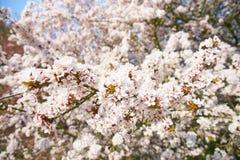 Sakuras in Blossom. White sakuras in blossom on a sunny day; spring time stock image