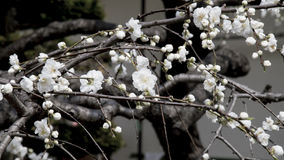 Sakuras flower stock photography