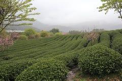 Sakuras in the tea gardens, is raining. Sakuras in tea gardens , zhangping city, china stock photos