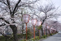 Sakuraseizoen in Kyoto Stock Afbeeldingen