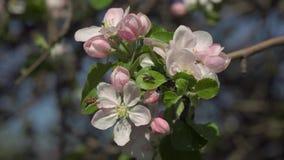 Sakuratak in de tuin stock videobeelden