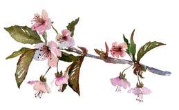Sakuratak, kersenbloesem met roze bloemen Royalty-vrije Stock Afbeeldingen